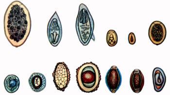 Яйца различных видов глистов