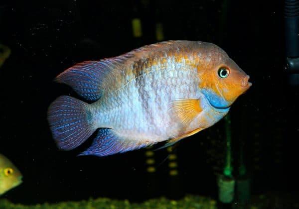 Цихлазома Седжика - удивительная рыбка в аквариуме