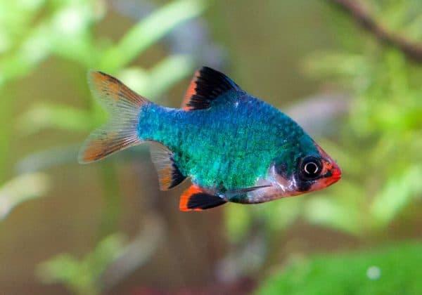 Мшистый барбус - красивая рыбка
