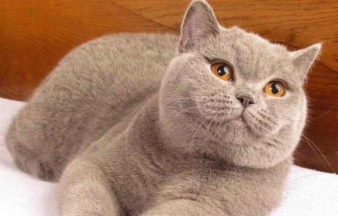 характер и повадки британской кошки
