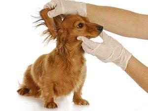 почему собака чешется если нет блох