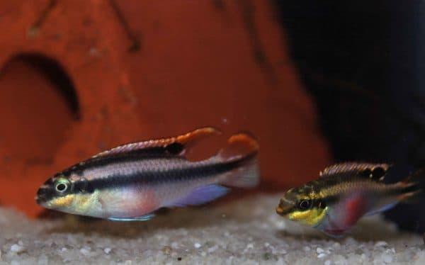 Пельвикахромис пульхер - удивительная рыбка в аквариуме