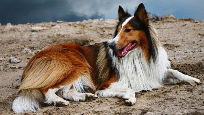 колли ласковая собака