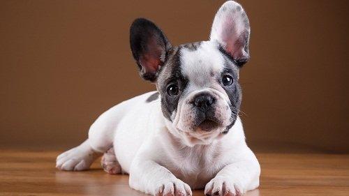 французский бульдог фото щенков