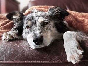 воспаление слюнных желез у собак