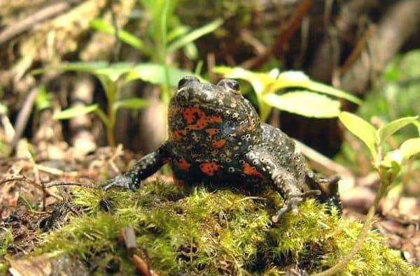 Краснобрюхая жерлянка - прекрасная лягушечка