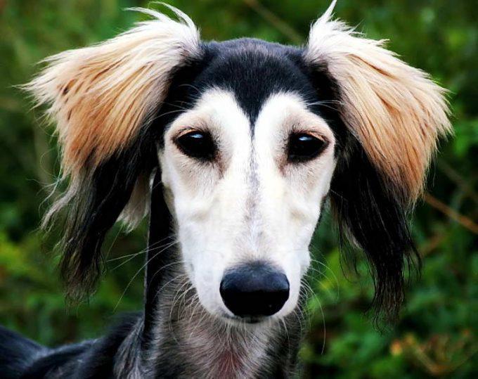 питание породы собак салюки