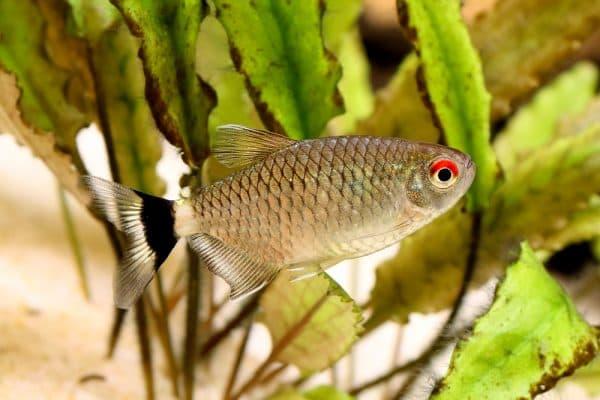 Размеры аквариума для филомена