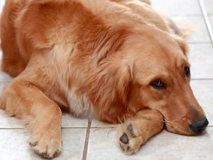 озноб у собаки