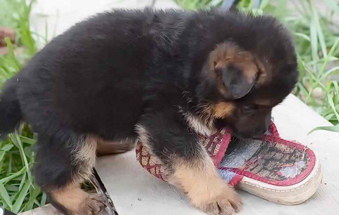 щенок трепает тапок