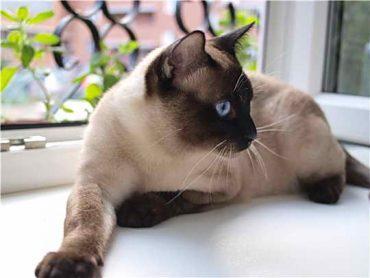 тайский кот на подоконнике