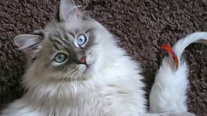 котята красивой породы кошек