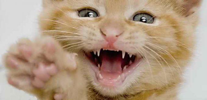 как определить возраст кошки по зубам