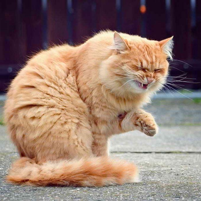 болеют ли кошки астмой