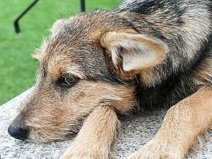 анаплазмоз собак симптомы