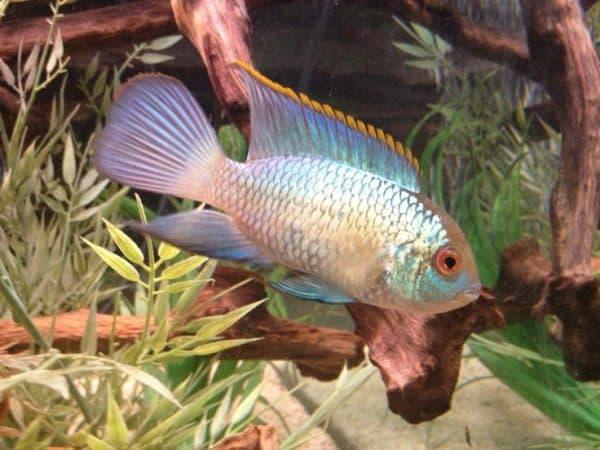 Голубая акара - прекрасная рыбка