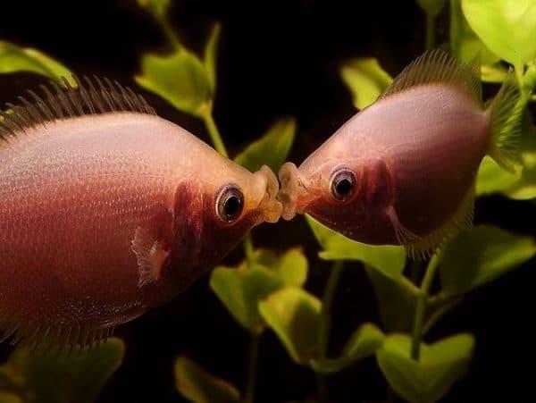 Гурами целующиеся - красивые рыбки в аквариуме