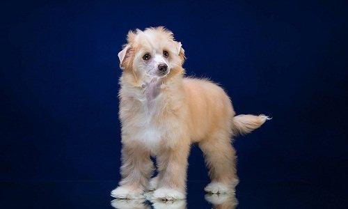 китайская хохлатая собака фото пуховая