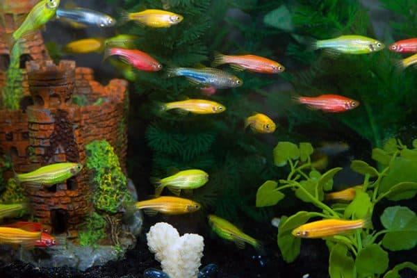 Светящиеся аквариумные рыбки читайте статью