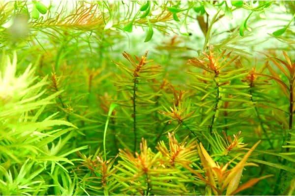 Дидиплис - удивительное растение