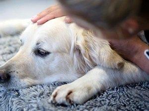 симптомы болезни печени у собаки