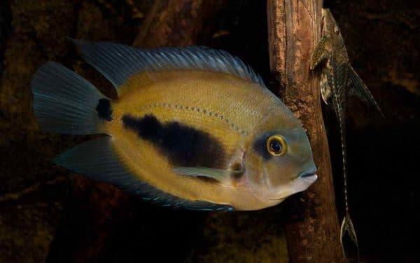 Уару чернопятнистый - необычная рыбка