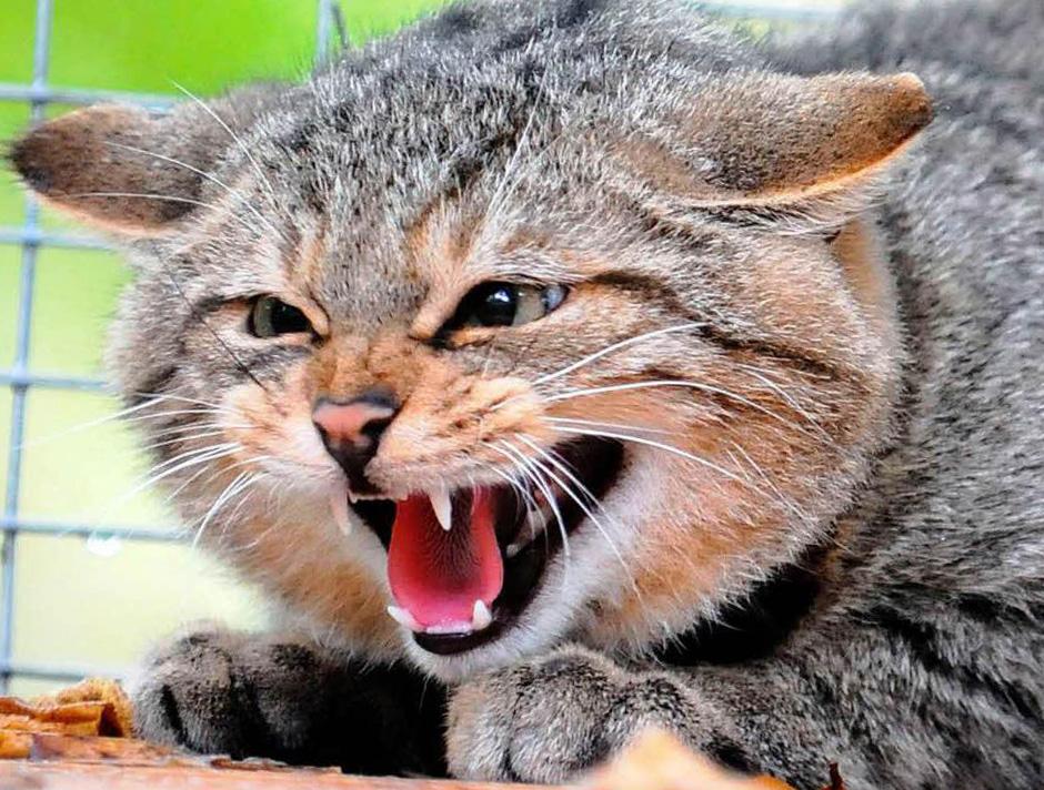 бешенство у кошек