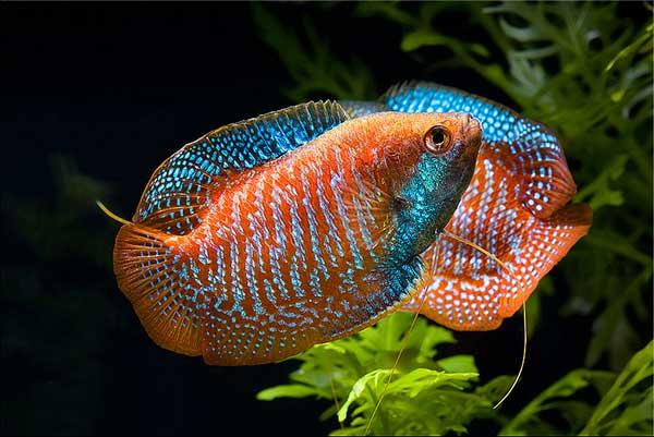 Лялиусы. Содержание, фото рыбки, видео, разведение и совместимость.