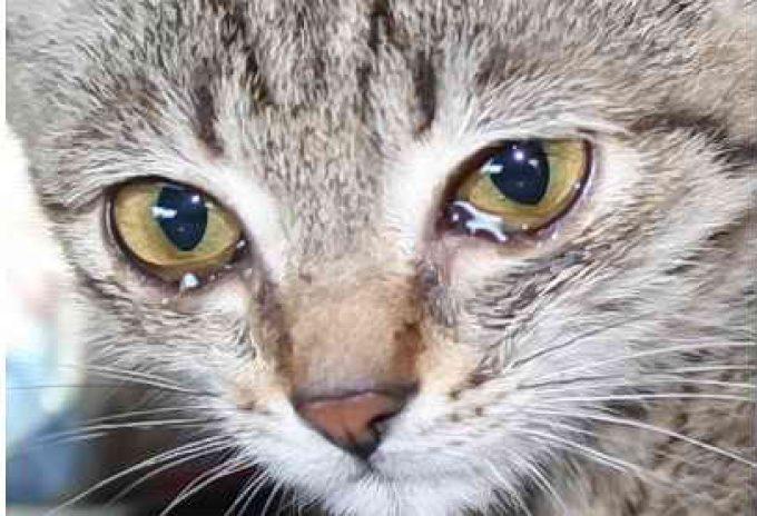 причина слепоты кошек