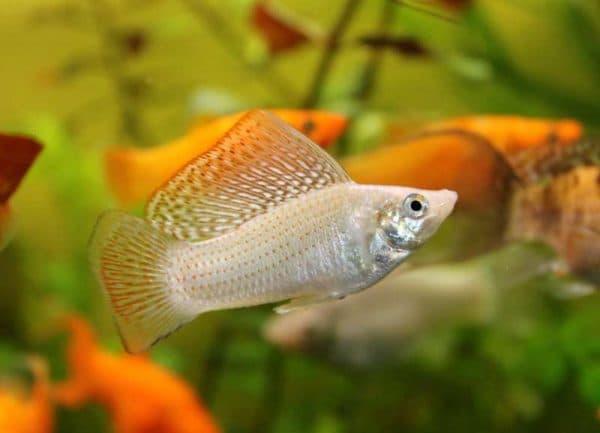 Моллинезия велифера - милая аквариумная рыбка