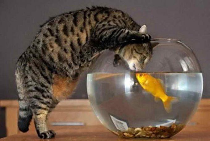 кот охотится за рыбой в аквариуме