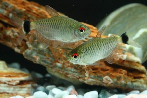 Филомена - аквариумная рыбка