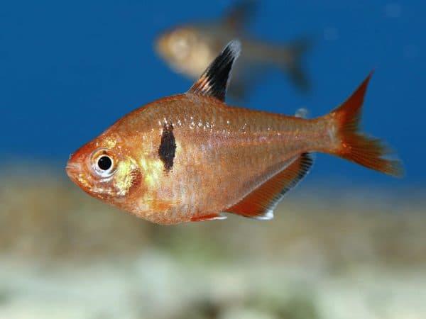 Серпас - удивительная рыбка