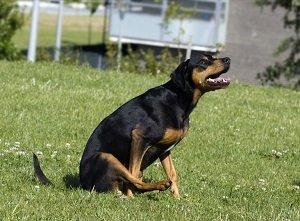 глисты у собаки симптомы