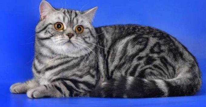 недостатки характера британского кота