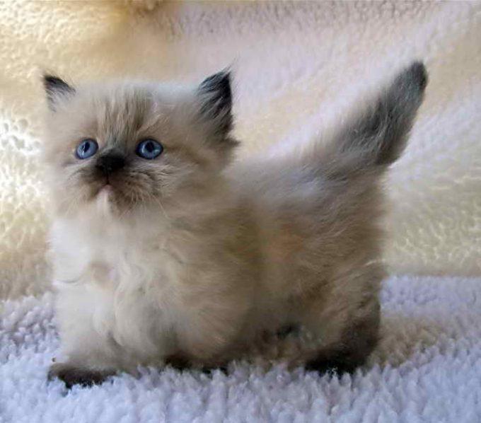 красивый котенок манчкин