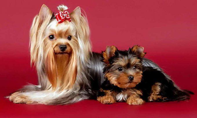 взрослый йорк с щенком