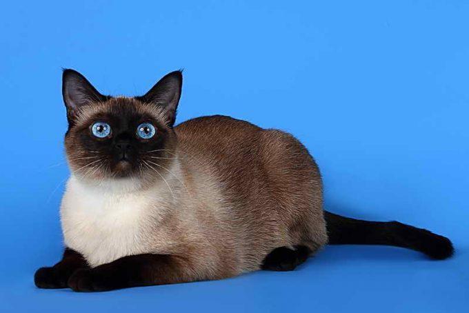 стандарт тайской кошки