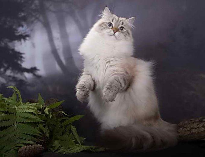 фото невской породы кошки