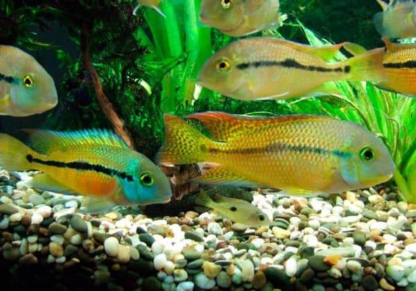 Никарагуанская цихлазома плавает