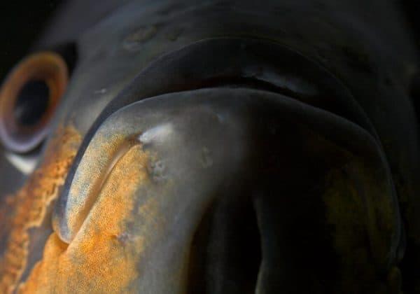 Астронотус тигровый - красивая рыбка в аквариуме