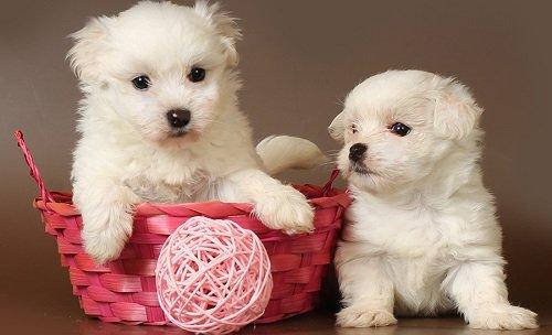 мальтийская болонка мини купить щенка
