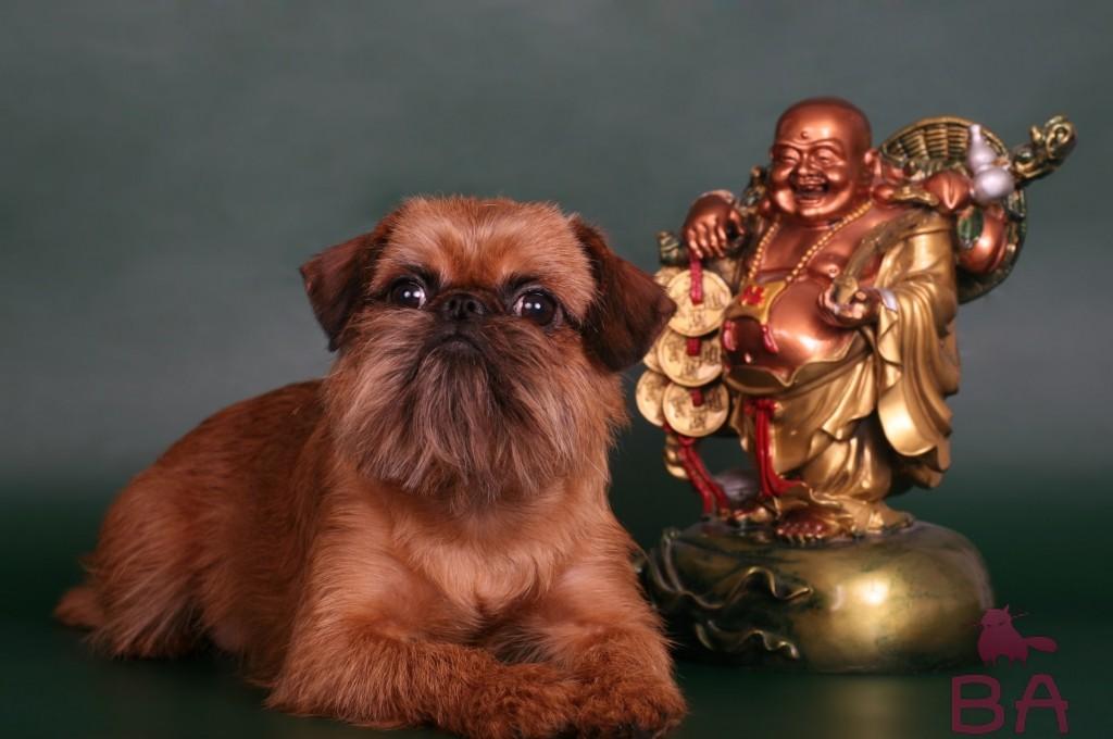 Порода собак гриффон: описание, уход и здоровье, стоимость