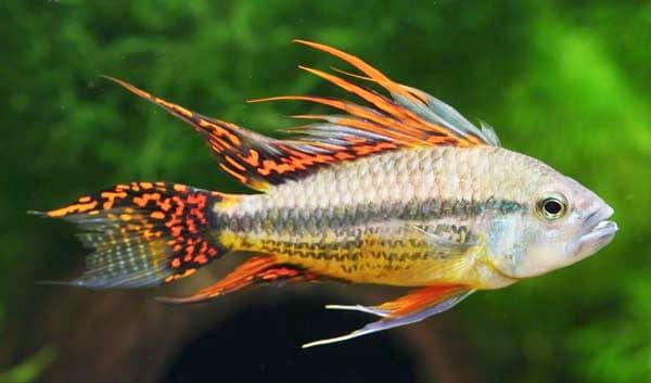 Апистограмма какаду - удивительная рыбка