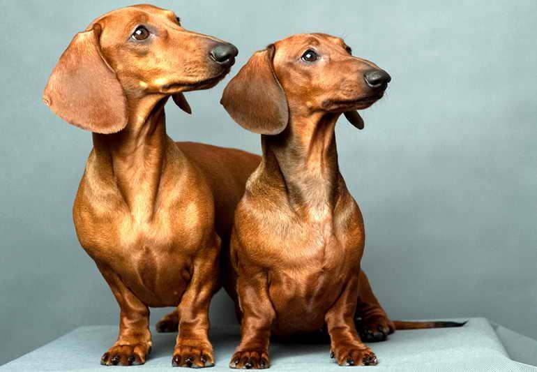 Описание породы такса: характер, уход, интересные фото собак