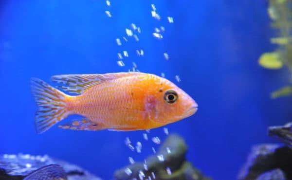 Aulonokara - udivitelnaya rybka
