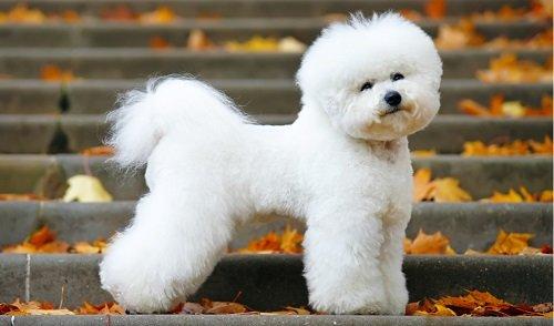 маленькая пушистая собака порода