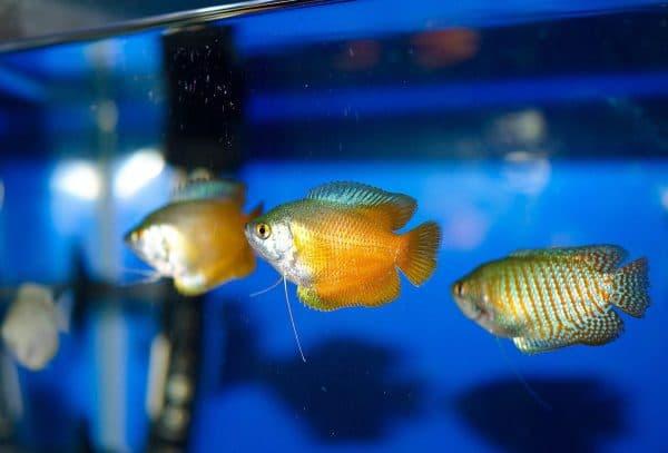 Лялиус в аквариуме