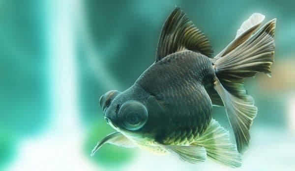 Телескоп рыбка изумительная