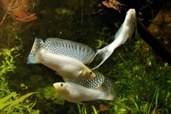 Моллинезия велифера - прекрасная аквариумная рыбка